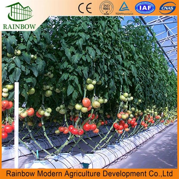 Выращивание помидор в домашней теплице 6